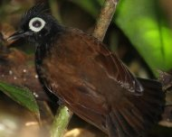 Bare-eyed Antbird male (endemic)