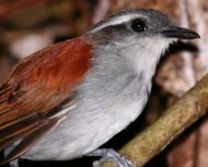Black-bellied Gnateater female (endemic)