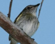 Buff-cheeked Tody-Flycatcher (endemic)