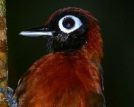 Chestnut-crested+Antbird+male