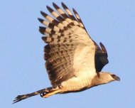 Crested+Eagle+%28Near+Threatened+in+IUCN+Red+List%29