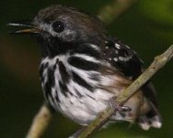 Dot-backed Antbird