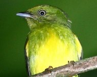 Golden-crowned Manakin (endemic and Vulnerable in IUCN Red List)