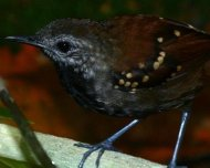 Gray-bellied Antbird (Orinoco-Negro White-sand Forest Endemic Bird Area)