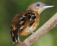 Pearly Antshrike female