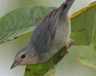 Pearly-breasted Conebill