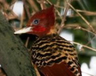 Rufous-headed Woodpecker