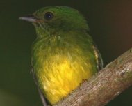 Snow-capped Manakin