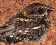 White-tailed Nightjar male
