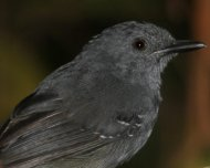 Willis's Antbird (endemic)