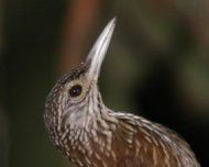 Zimmer's Woodcreeper