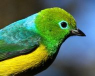 Blue-naped Chlorophonia male