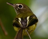 Eye-ringed Tody-Tyrant (endemic)