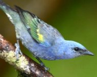 Golden-chevroned Tanagers (endemic)