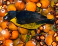 Green-throated Euphonia