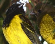Hooded Berryeater pair (endemic)