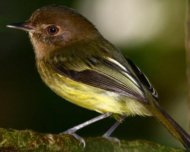 Kaempfer's Tody-Tyrant (endemic and endangered in IUCN Red List)