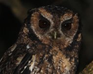 Long-tufted Screech-Owl