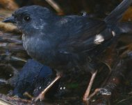 Marsh Tapaculo (endemic and Endangered in IUCN Red List)