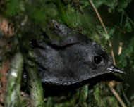 Serra do Mar Tapaculo (Scytalopus notorius)