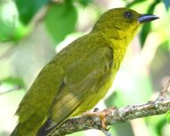 Olive-green Tanager (endemic)