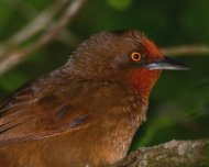Orange-eyed Thornbird (endemic)
