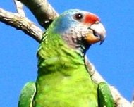Red-tailed Parrot, endemic restricted to São Paulo and Paraná and Vulnerable in IUCN Red List.