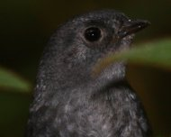 Mouse-colored Tapaculo (Scytalopus speluncae) from Caraça (previously considered as Rock Tapaculo)
