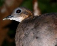 Solitary Tinamou roosting (Near Threatened in IUCN Red List)
