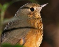 Speckle-breasted Antpitta (endemic to the Atlantic Forest, the northern population)