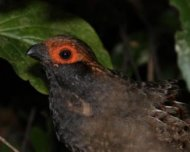 Spot-winged Wood-quail (plumbeicollis race)