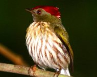 Striped Manakin (Machaeropterus regulus regulus, endemic)
