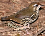 Such's Antthrush (endemic)