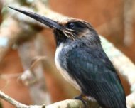 Three-toed Jacamar (endemic and Vulnerable in IUCN Red List)