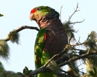 Vinaceous-breasted Parrot (Endangered in IUCN Red List)