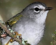White-browed Warbler
