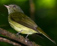 Wied's Tyrant-Manakin (endemic and Vulnerable in IUCN Red List)
