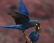 Lear's Macaws (endemic and Endangered in IUCN Red List)