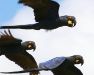 Lear's Macaws, endemic and Endangered in IUCN Red List.