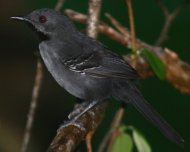 Slender Antbird male (endemic and Endangered in IUCN Red List)