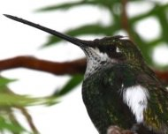 Stripe-breasted Starthroat (endemic)