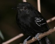 Bananal Antbird male, endemic and restricted to Araguaia-Tocantins basin.