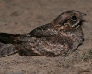 Little Nightjar female