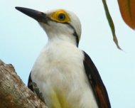 White Woodpecker