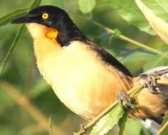 Black-capped Donocobius