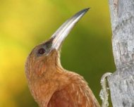 Great Rufous Woodcreeper