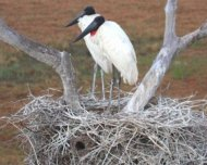 Jabiru Storks at nest