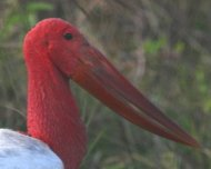 This aberrant Jabiru has only been seen once in the Pantanal. This bird was spotted during a tour in 2009.