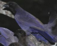 Purplish Jays
