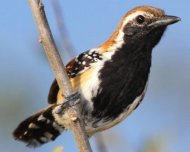 Rusty-backed Antwren male
